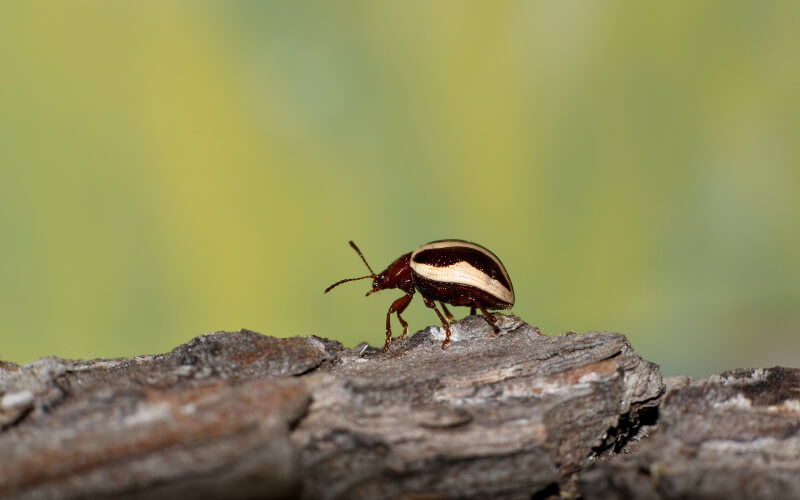 Beetle extermination and control with Specialized Pest Control and Lawn Care in Idaho and Utah