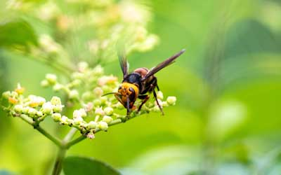 A hornet in Northern Utah - Specialized Pest Control & Lawn Care